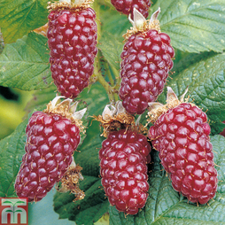 Tayberry 'Buckingham'