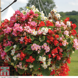 Begonia semperflorens 'Lotto Mixed' (Garden Ready)