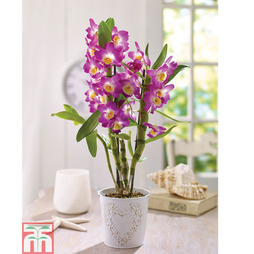 Orchid Dendrobium 'Star Class Lilac' - Gift