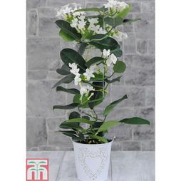 Stephanotis - The Madagascar Jasmine - Gift