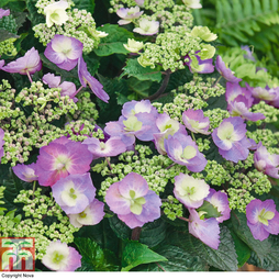 Hydrangea serrata 'Blueberry Cheesecake'