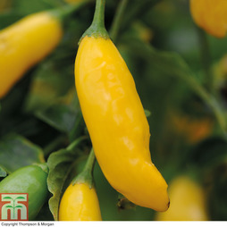 Chilli Pepper 'Hot Lemon'