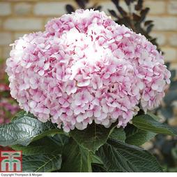 Hydrangea macrophylla 'Avantgarde'®