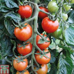 Tomato 'Primabella'