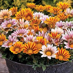 Gazania 'Tiger Stripes Mixed' (Garden Ready)
