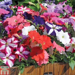 Petunia 'Frenzy Mixed' F1 Hybrid (Garden Ready)