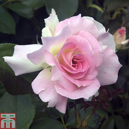 Rose 'Breeder's Choice Pink' (Hybrid Tea Rose)