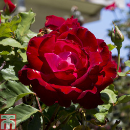 Rose 'Breeder's Choice Red' (Hybrid Tea Rose)