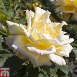 Rose 'Breeder's Choice Gold' (Hybrid Tea Rose)