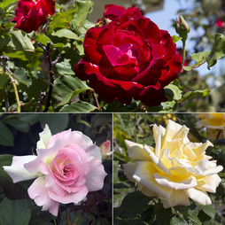 Rose 'Breeder's Choice Collection' (Hybrid Tea Rose)