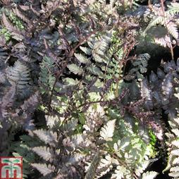 Athyrium niponicum f. metallicum