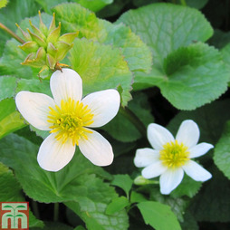 Caltha palustris var. alba (Marginal Aquatic)