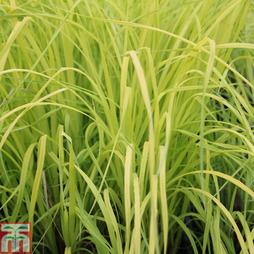 Carex elata 'Aurea' (Marginal Aquatic)