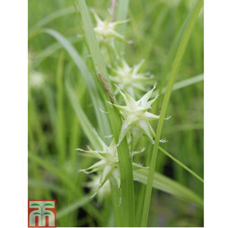 Carex grayi (Marginal Aquatic)