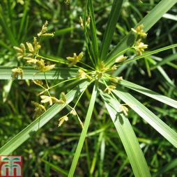 Cyperus involucratus (Marginal Aquatic)