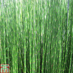 Equisetum hyemale (Marginal Aquatic)