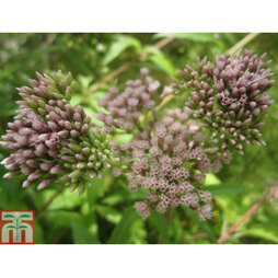 Eupatorium cannabinum (Marginal Aquatic)