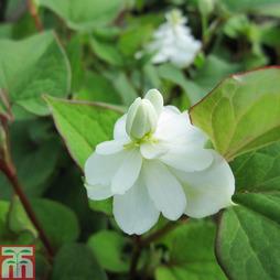 Houttuynia cordata 'Flore Pleno' (Marginal Aquatic)