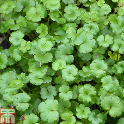 Hydrocotyle novae-zeelandiae (Oxygenating Aquatic)