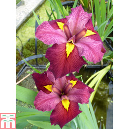 Iris louisiana 'Ann Chowning' (Marginal Aquatic)