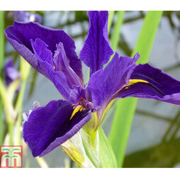 Iris louisiana 'Marie Gallais' (Marginal Aquatic)