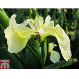 Iris pseudacorus bastardii (Marginal Aquatic)