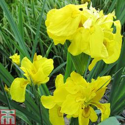 Iris pseudacorus 'Flore Pleno' (Marginal Aquatic)