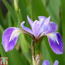 Iris versicolor (Marginal Aquatic)