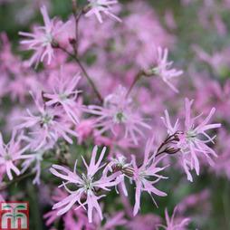 Lychnis flos-cuculi 'Terry's Pink' (Marginal Aquatic)