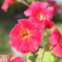 Mimulus cupreus 'Red Emperor' (Marginal Aquatic)