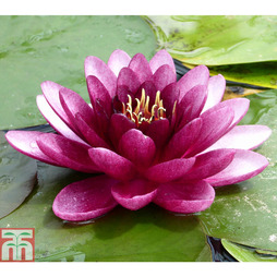 Nymphaea 'Almost Black' (Deep Water Aquatic)