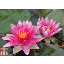 Nymphaea 'Charles de Meurville' (Deep Water Aquatic)
