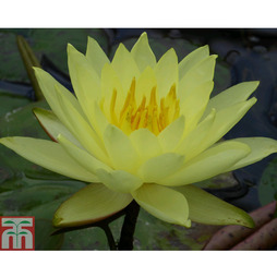 Nymphaea 'Lemon Mist' (Deep Water Aquatic)