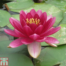 Nymphaea 'Perry's Baby Red' (Deep Water Aquatic)