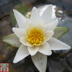 Nymphaea 'Pygmaea Alba' (Deep Water Aquatic)
