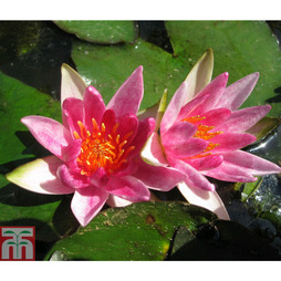 Nymphaea 'Pygmaea Rubra' (Deep Water Aquatic)