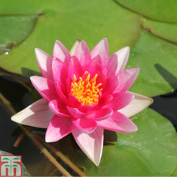 Nymphaea 'Rene Gerard' (Deep Water Aquatic)