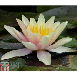 Nymphaea 'Sioux' (Deep Water Aquatic)