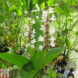 Pontederia cordata 'Alba' (Marginal Aquatic)