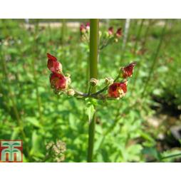 Scrophularia auriculata 'Variegata' (Marginal Aquatic)
