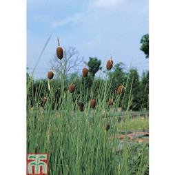 Typha minima (Marginal Aquatic)