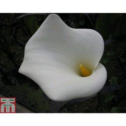 Arum Lily 'Crowborough' (Marginal Aquatic)