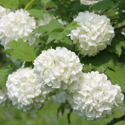 Guelder Rose (Hedging)