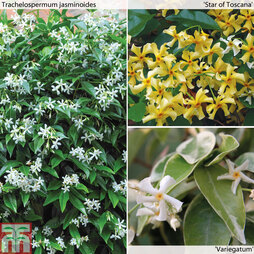 Trachelospermum jasminoides Collection