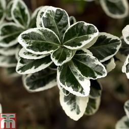 Euonymus japonicus 'Microphyllus'