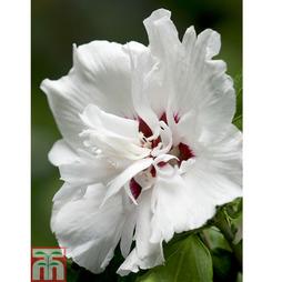 Hibiscus syriacus 'China Chiffon'