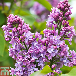 Lilac 'Charles Joly'