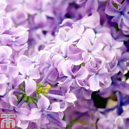 Lilac 'Lavender Lady'