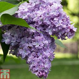 Lilac 'Michael Buchner'