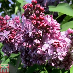 Lilac 'Mrs Edward Harding'